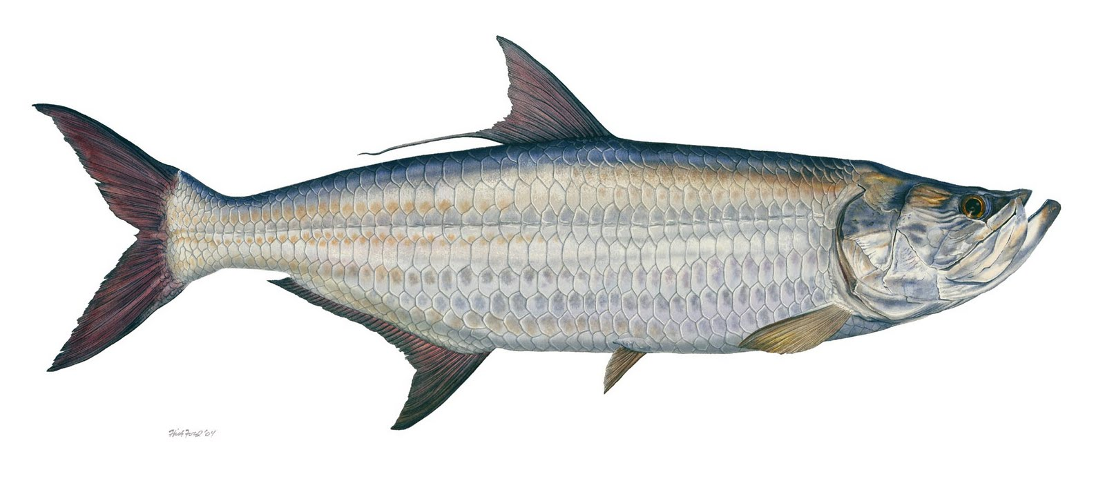 Image from for Types of saltwater fish to eat