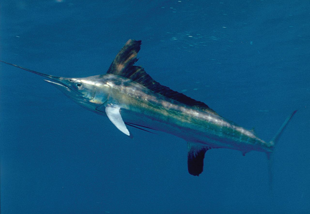 marlin - photo #25